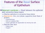 features of the basal surface of epithelium