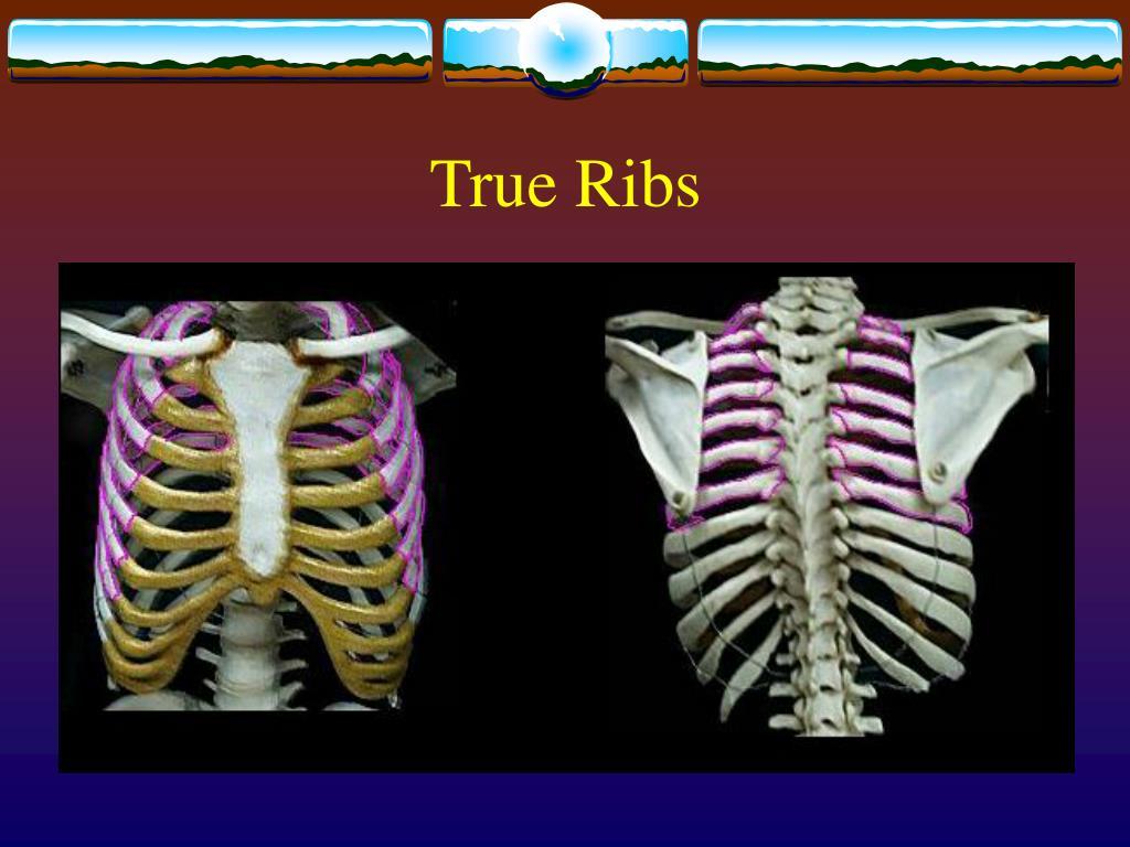 True Ribs