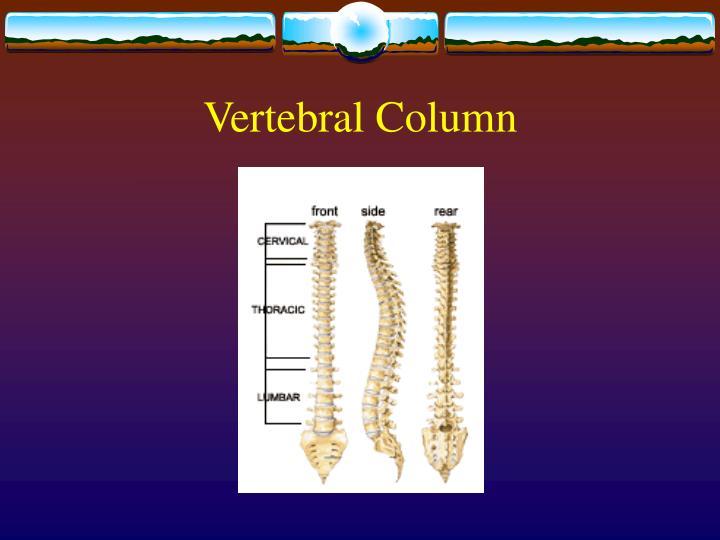 Vertebral column3