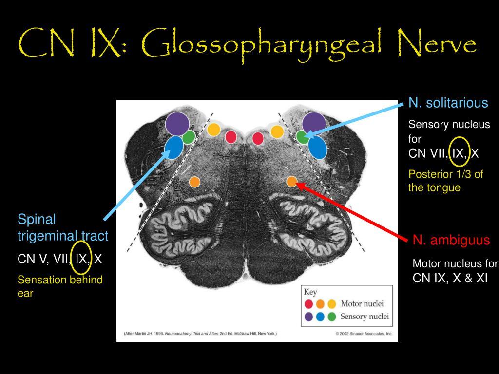 CN  IX:  Glossopharyngeal  Nerve