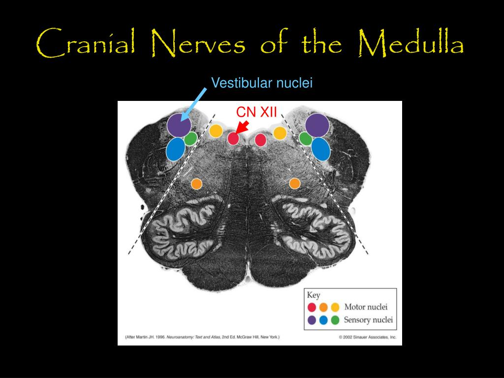 Cranial  Nerves  of  the  Medulla