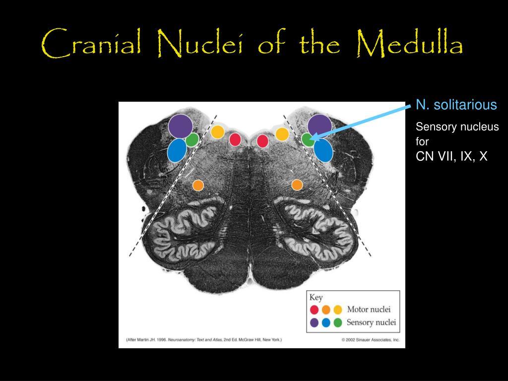 Cranial  Nuclei  of  the  Medulla