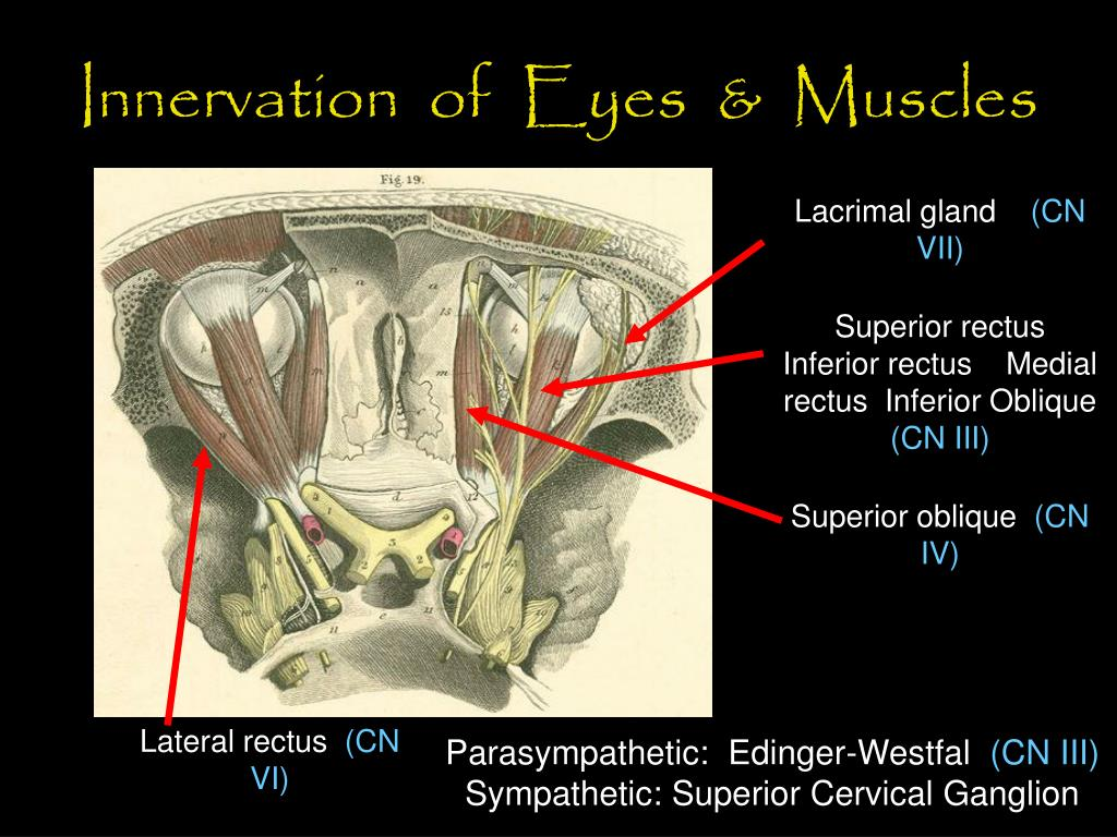 Innervation  of  Eyes  &  Muscles
