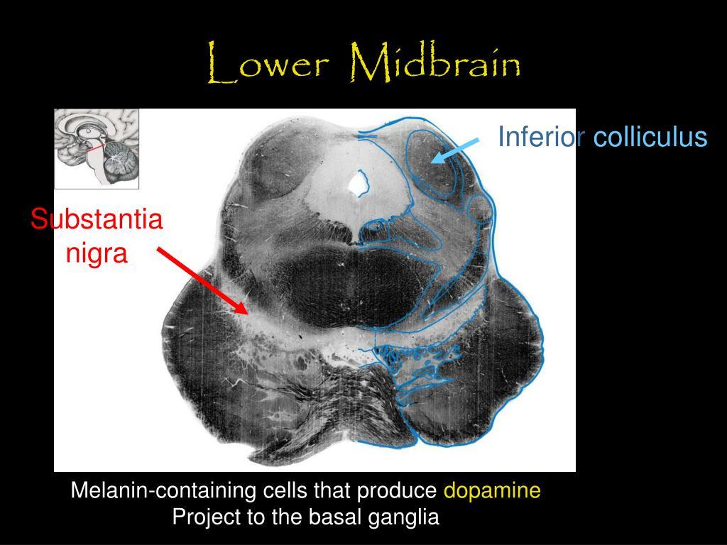 Lower  Midbrain