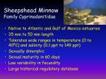 sheepshead minnow family cyprinodonitidae