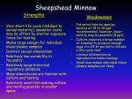 sheepshead minnow