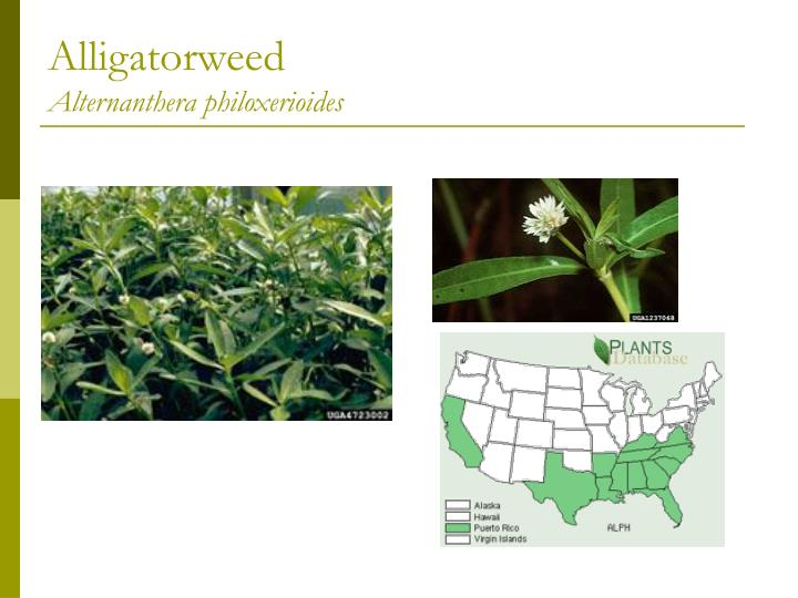 Alligatorweed