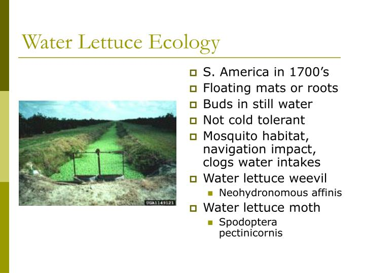 Water Lettuce Ecology
