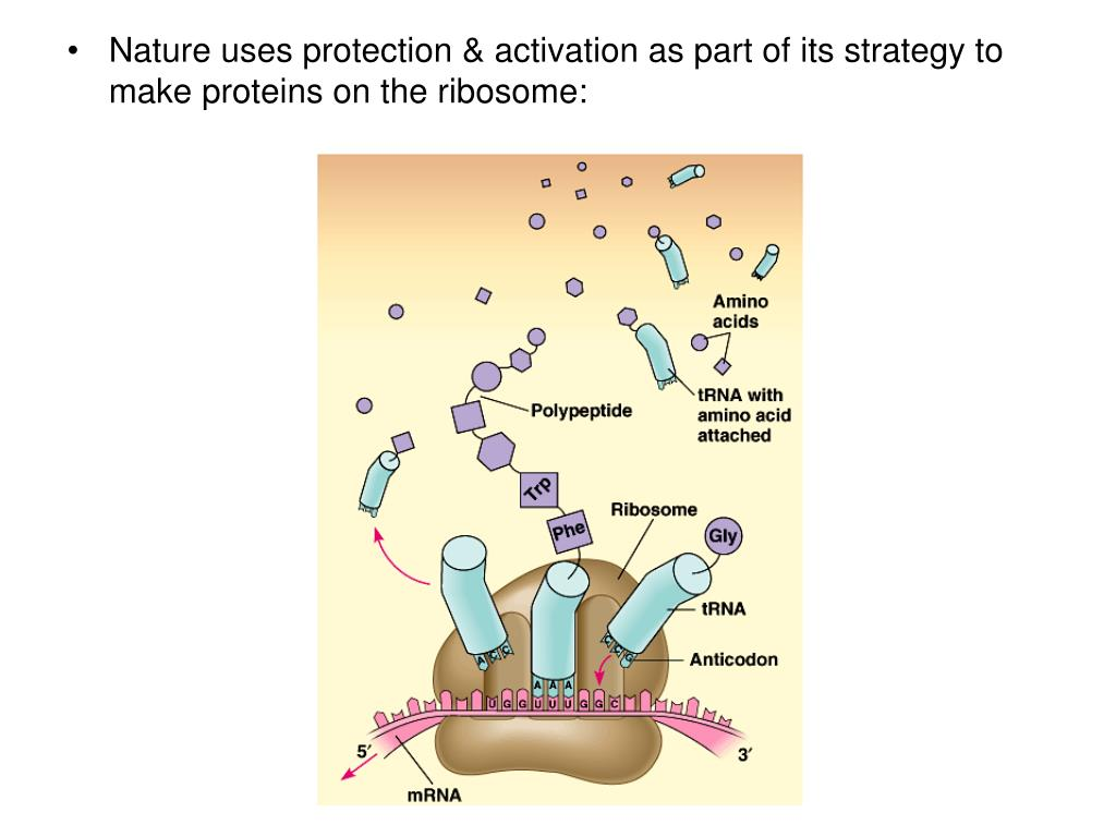Nature uses protection & activation as part of its strategy to make proteins on the ribosome: