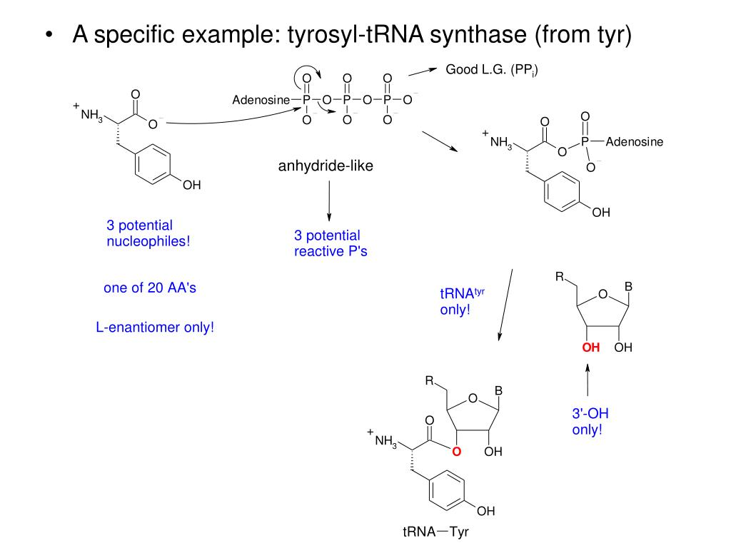 A specific example: tyrosyl-tRNA synthase (from tyr)