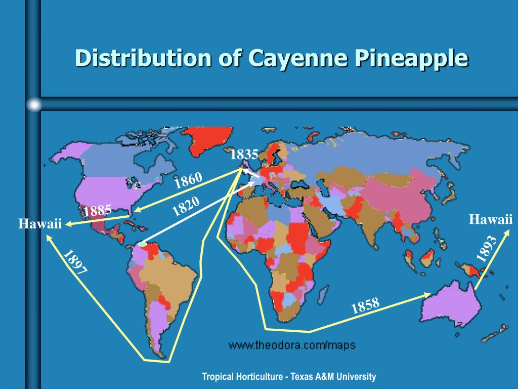 Distribution of Cayenne Pineapple