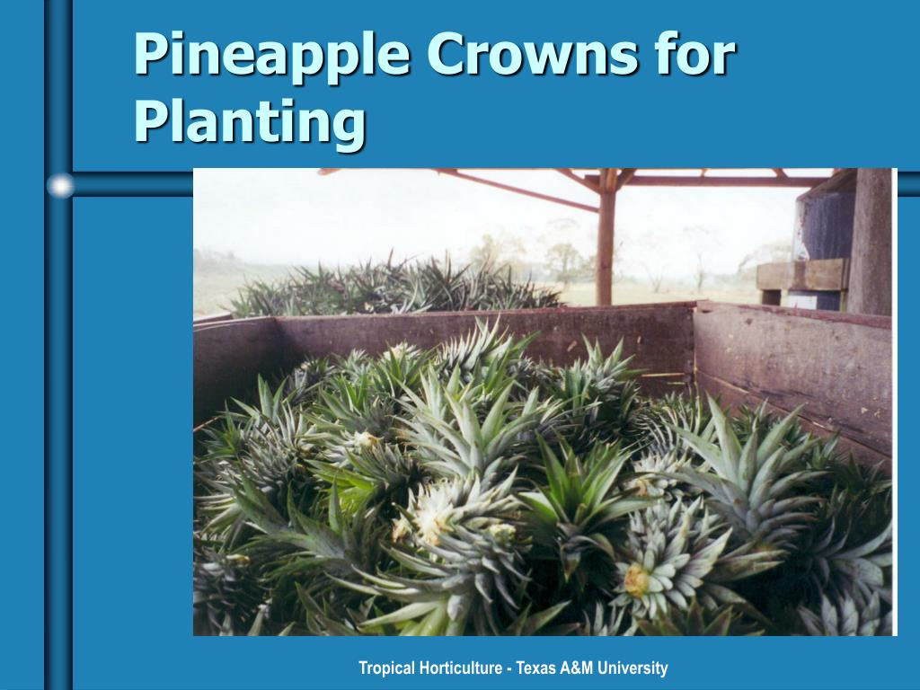 Pineapple Crowns for Planting