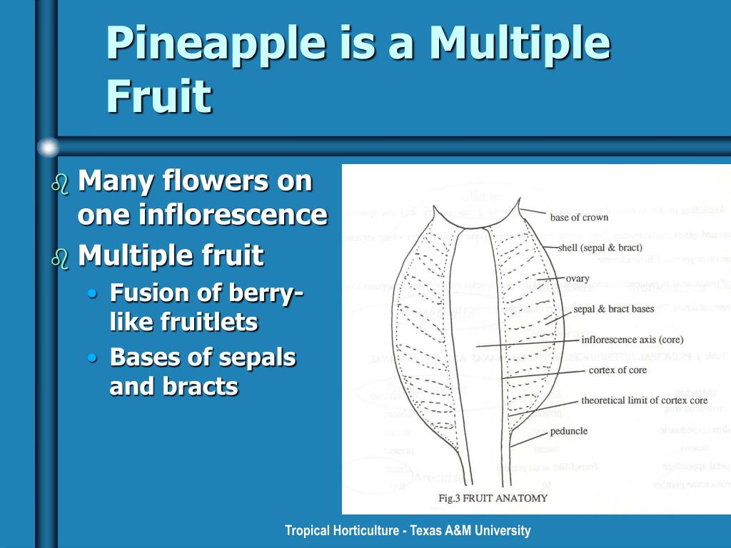 Pineapple is a Multiple Fruit
