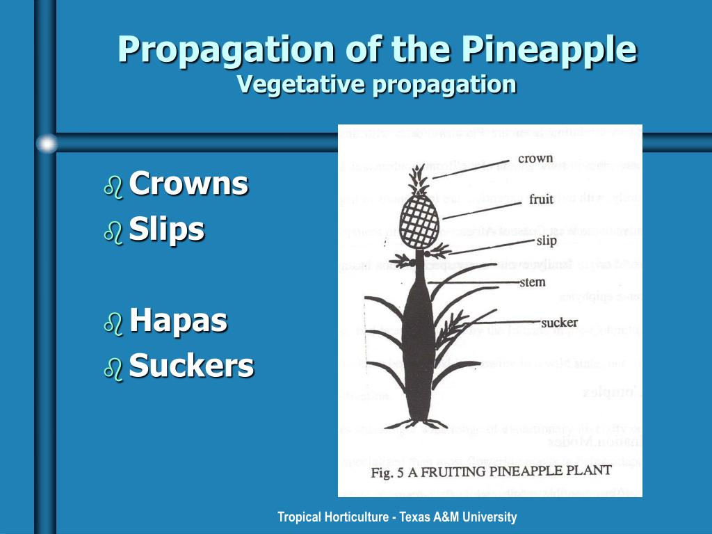 Propagation of the Pineapple