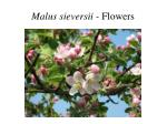 malus sieversii flowers