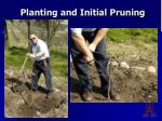 planting and initial pruning