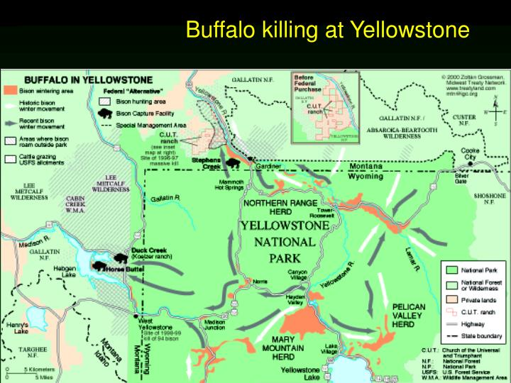 Buffalo killing at Yellowstone