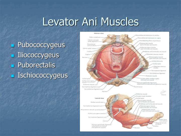 Levator anus muscles consider