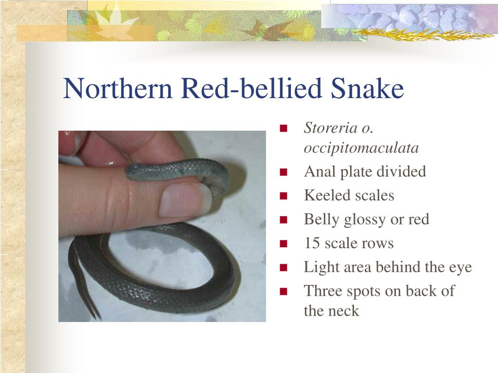 Northern Red-bellied Snake