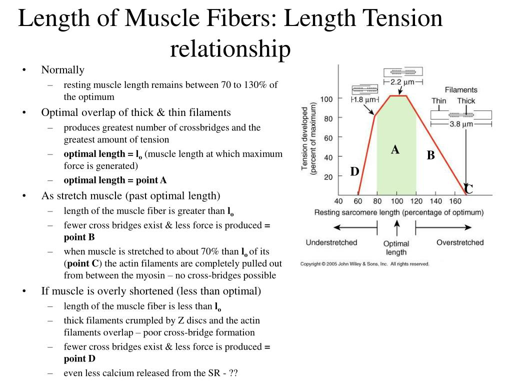 Length of Muscle Fibers: Length Tension relationship