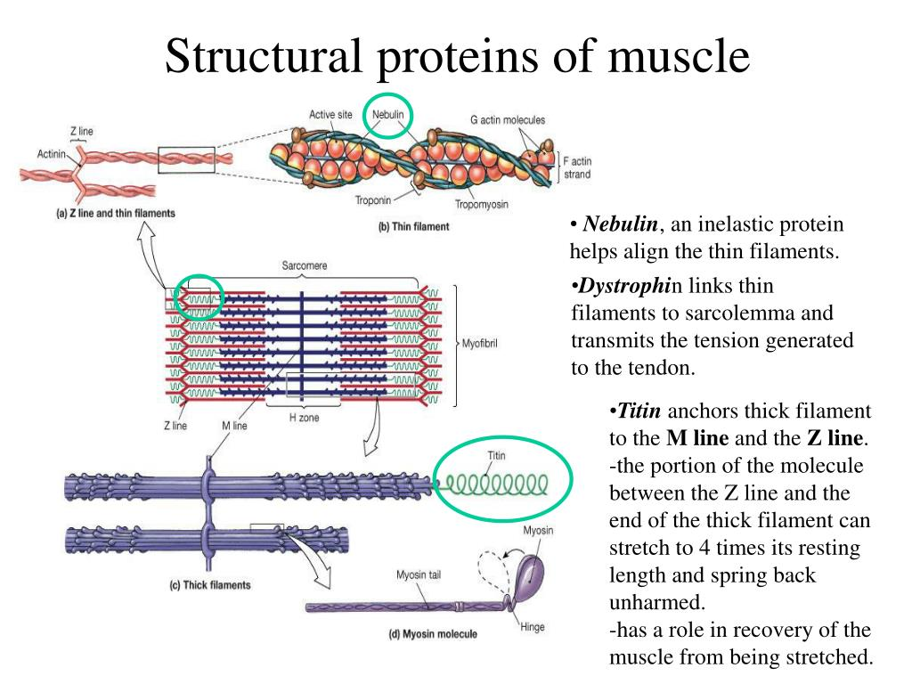 Structural proteins of muscle