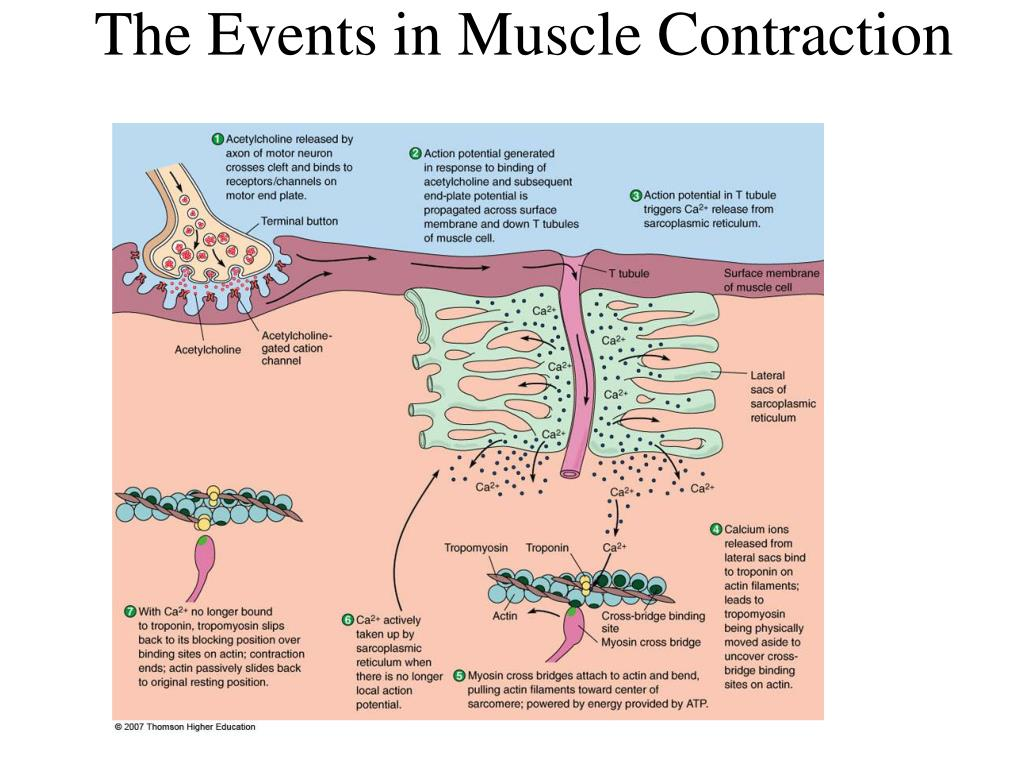 The Events in Muscle Contraction