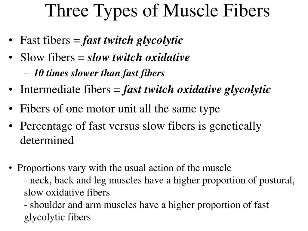 Three Types of Muscle Fibers