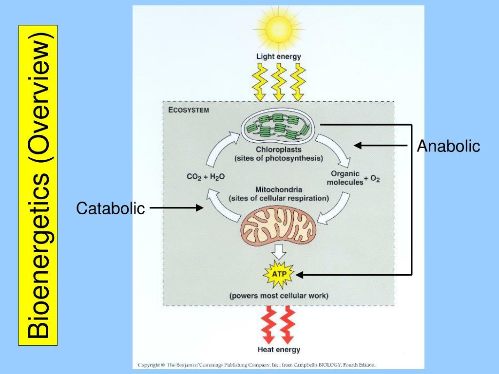 bioenergetics overview l.