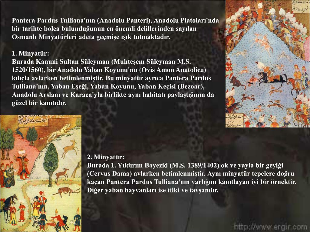 Pantera Pardus Tulliana'nın (Anadolu Panteri), Anadolu Platoları'nda bir tarihte bolca bulunduğunun en önemli delillerinden sayılan Osmanlı Minyatürleri adeta geçmişe ışık tutmaktadır.
