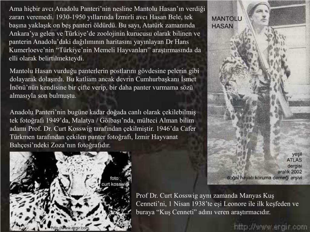 """Ama hiçbir avcı Anadolu Panteri'nin nesline Mantolu Hasan'ın verdiği zararı veremedi. 1930-1950 yıllarında İzmirli avcı Hasan Bele, tek başına yaklaşık on beş panteri öldürdü. Bu sayı, Atatürk zamanında Ankara'ya gelen ve Türkiye'de zoolojinin kurucusu olarak bilinen ve panterin Anadolu'daki dağılımının haritasını yayınlayan Dr Hans Kumerloeve'nin """"Türkiye'nin Memeli Hayvanları"""" araştırmasında da elli olarak belirtilmekteydi."""