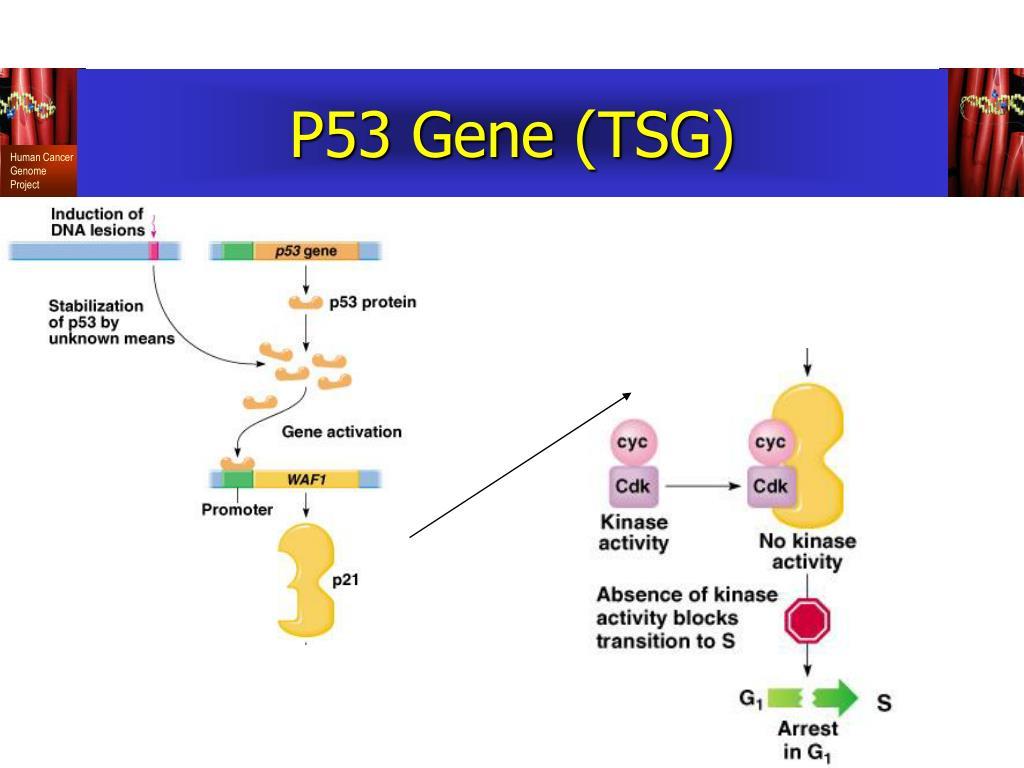P53 Gene (TSG)