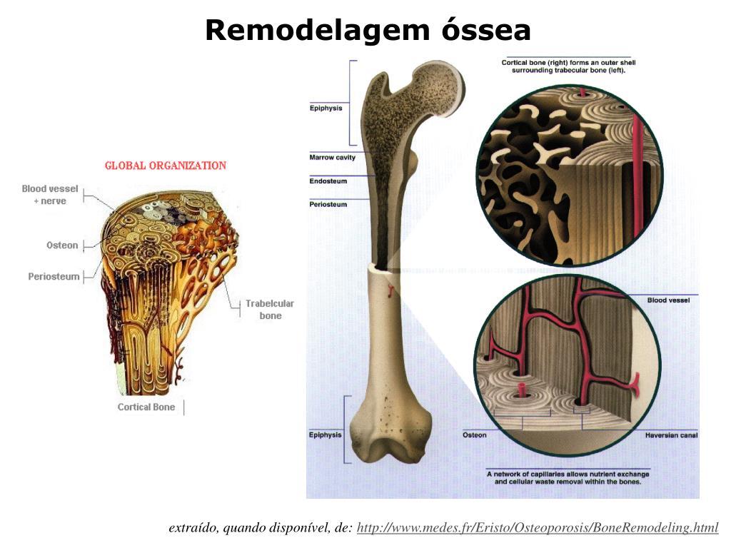 Alguns conceitos sobre fisiologia do tecido ósseo