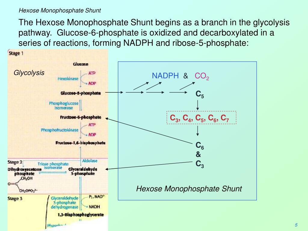 Hexose Monophosphate Shunt