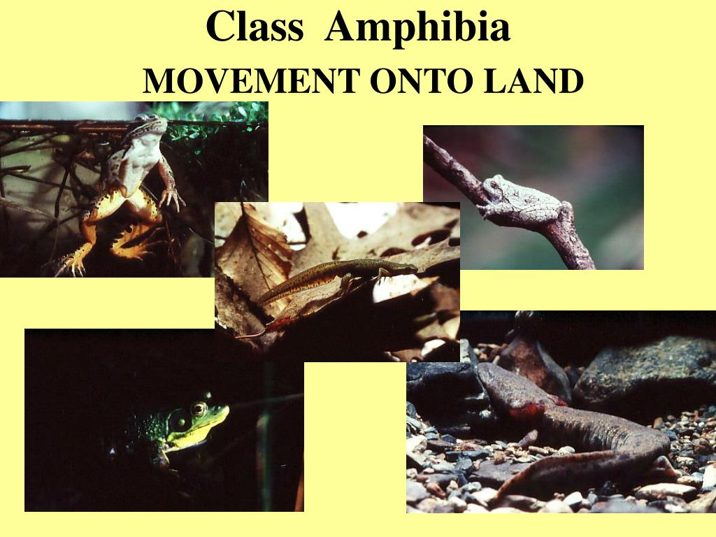 class amphibia movement onto land l.