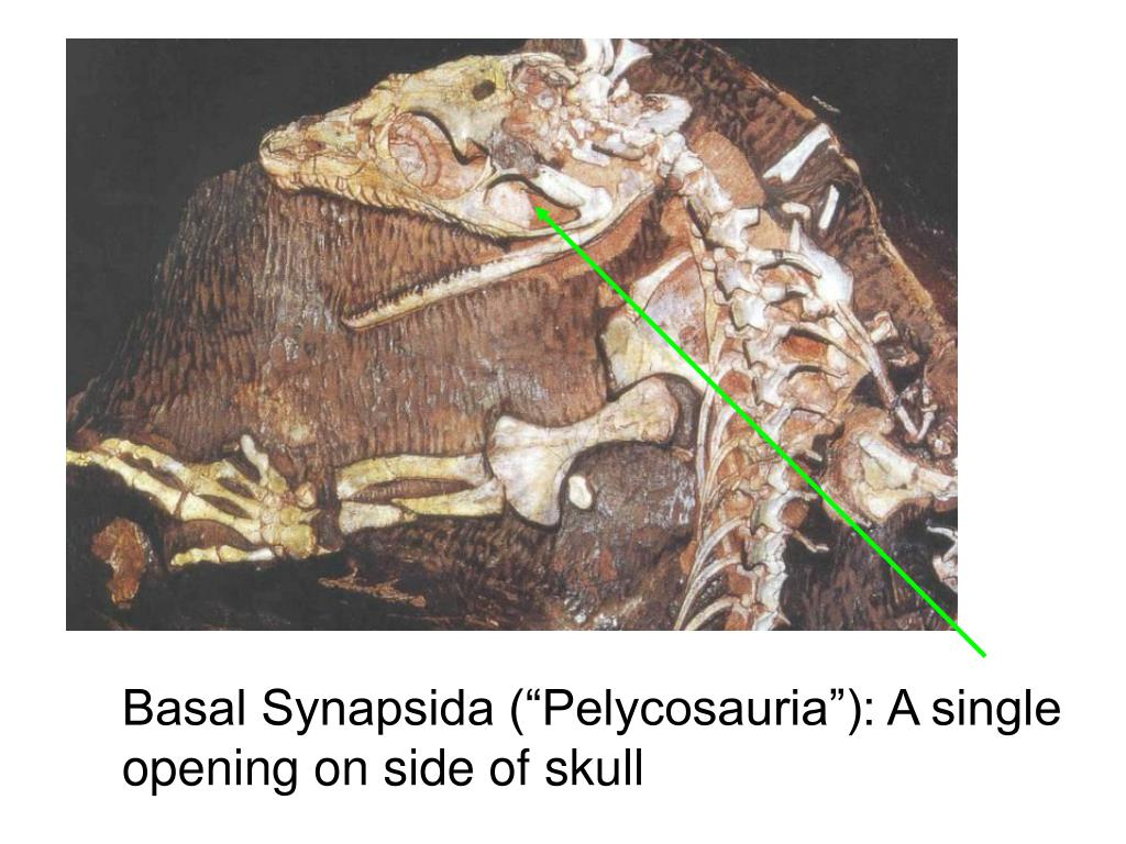 "Basal Synapsida (""Pelycosauria""): A single opening on side of skull"