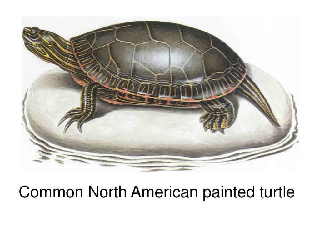 Common North American painted turtle