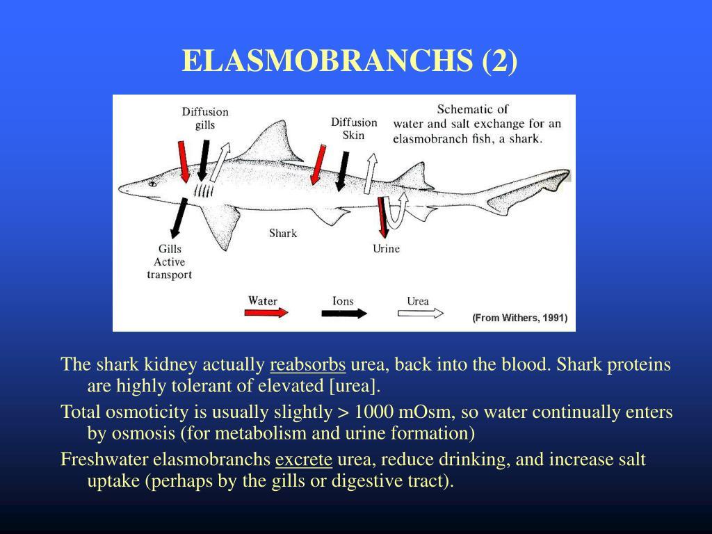 ELASMOBRANCHS (2)