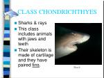 class chondrichthyes11