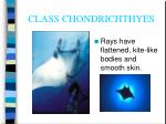 class chondrichthyes15