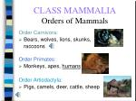 class mammalia orders of mammals66