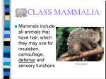 class mammalia55