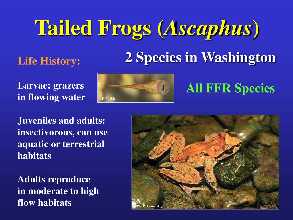 Tailed Frogs (
