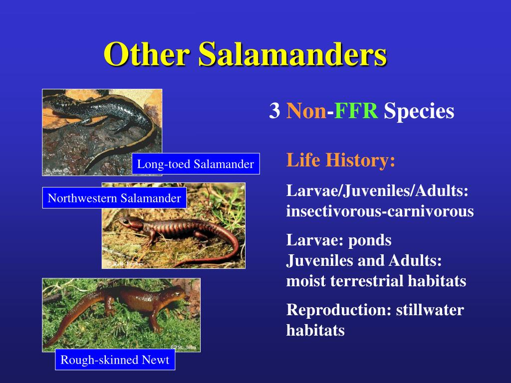 Other Salamanders