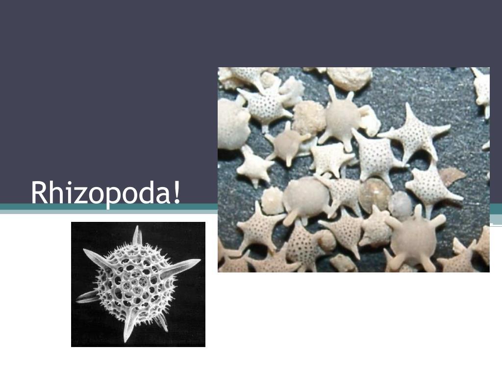 rhizopoda l.