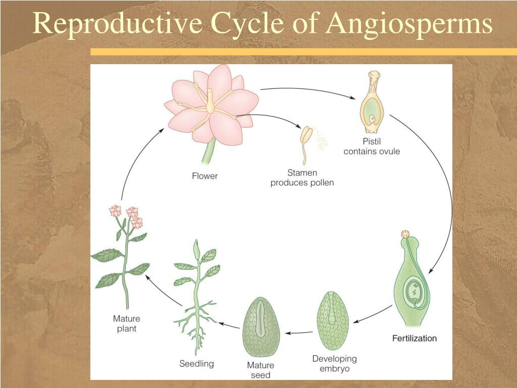 Reproductive Cycle of Angiosperms
