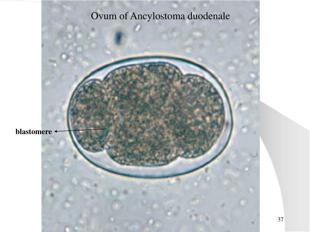Ovum of Ancylostoma duodenale