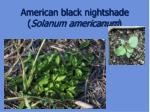 american black nightshade solanum americanum35