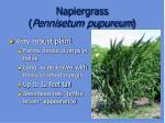 napiergrass pennisetum pupureum