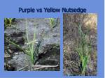 purple vs yellow nutsedge