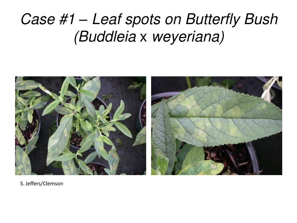 Case #1 – Leaf spots on Butterfly Bush (Buddleia